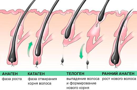 Рисунок 1. Стадии роста волос