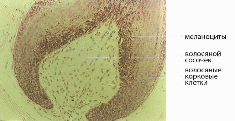 Рисунок 2. Луковица и волосяной сосочек