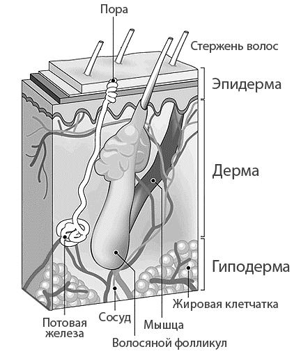 Рисунок 3. Волос и подкожная структура