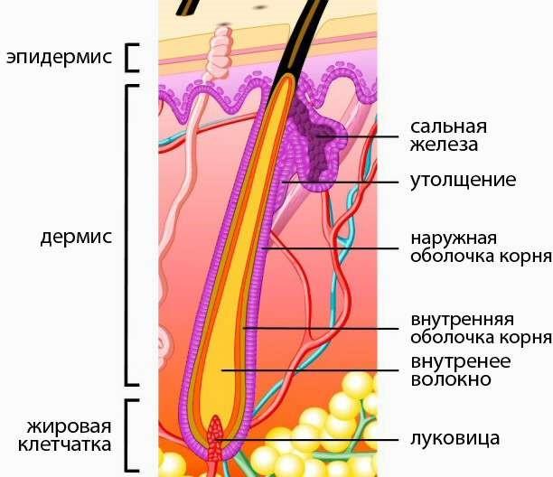 Рисунок 4. Волос и подкожная структура
